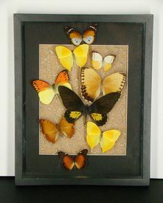 9 Real Butterfly Phoebis Rurina Hebomoia Leucippe Danaus Matted Textured Frame