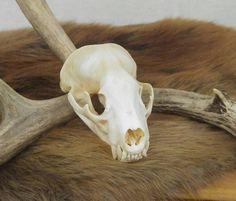 Badger Skull, Taxidermy, Bones, Vulture Culture, Oddities, Curiosities, Cabin Decor, Rustic Decor, Wicca, Animal Skull, Skeleton, Goth Decor by SagebrushandBeyond on Etsy