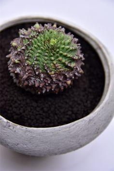 ユーフォルビア sp.      Euphorbia sp.