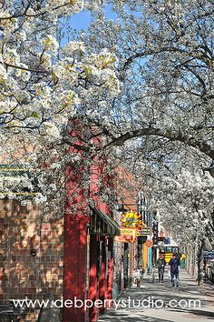Cherry blossoms in Traverse City, MIchigan Deb Perry Photography