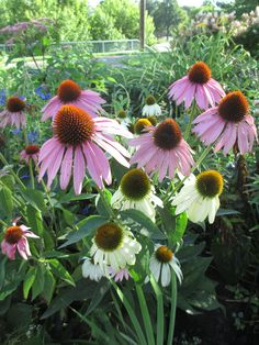 Coneflowers have never been my favorite, but I thought this picture was just so pretty!