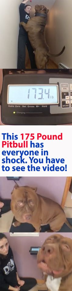 I didn't believe how big this Pitbull was until I saw the video proof. WOW! Please Repin. #dog #pitbull #omg