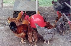 Raças mais indicadas para criação de frangos e galinhas caipiras - Portal Agropecuário