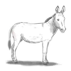 How to draw a donkey - Drawing Factory Easy Drawings Sketches, Horse Drawings, Animal Sketches, Animal Drawings, Doodle Drawings, Donkey Drawing, Alternative Comics, Easy Animals, Barnyard Animals