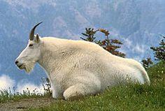 cabra blanca de las rocosas