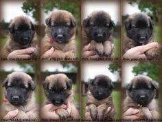 Puppies van Harley