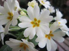 White Primrose  Primula vulgaris