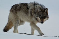 The 'Most Famous Wolf in the World' Lived Hard—and Died Tragically