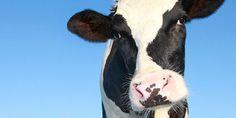 Demand the Australian government stops sending live cattle to a cruel death in Vietnam