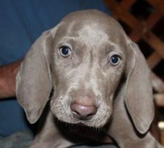 Weimi Puppy is an adoptable Weimaraner Dog in Lacon, IL. We have both a male and female puppy. They were born march 1 2012. They have been altered and have all their puppy shots. These puppies are ver...