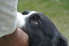 Border Collie Devotion! Those eyes! Just like Muffin's. . .