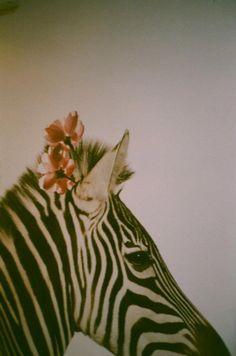 Pretty zebra