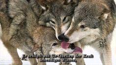 Das Lied an den Heiligen Wolf - Sinchota Maran Schamanismus