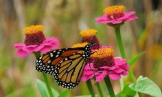 Butterfly On A Flower – Monday's Pretty Daily Jigsaw Puzzle #jigsawpuzzle #jigsaw