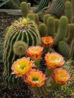 Rare Cactus Blooms ,. Chicago Botanic Garden by  Dave Bolenbaugh