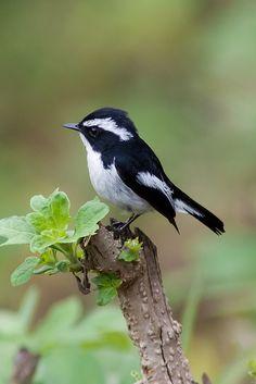 Ficedula westermanni - muchołówka srokata - Little Pied Flycatcher