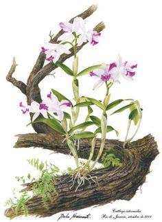 Cattleya                                                                                                                                                                                 Mais