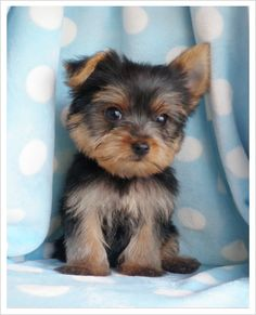 Toy Yorkie Puppy. The Yorkshire Terrier is a small dog breed of terrier type, developed in the 19th century in the county of Yorkshire, England to catch rats in clothing mills.