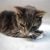 ONLY HAS A HALF AND HOUR LEFT!!! LOU MUST GO TO EMERGENCY VET TODAY OR HE WILL BE EUTHANIZED. LOU needs a blood transfusion @ BACC *Little 4 pound LOU needs local vet placement TODAY by 3pm @ BACC* Lou is a handsome older guy who is severely anemic and needs a blood transfusion ASAP! Alerted New Hope rescues – pet needs blood transfusion for critical state, then would need intensive nursing care if no rescue by 3 pm, rec EHR due to critical status, poor prognosis