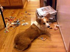 Is Milo a naughty corgi, or just a fan of recycling?....Our puppy Cooper enjoys doing this too!