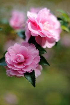 Camellia (by myu-myu) ~Camellias are very lovely flowers that grow on bushes… Amazing Flowers, My Flower, Pink Flowers, Beautiful Flowers, Gardenias, Amazing Gardens, Beautiful Gardens, Flowers Nature, Flower Pictures