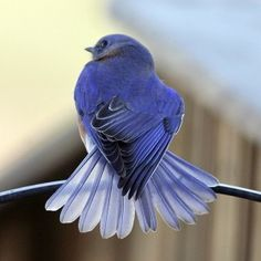 beautiful bluebirds