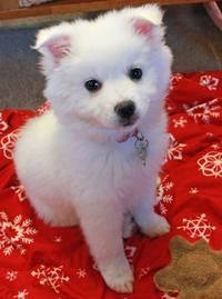 Perrin the American Eskimo Dog puppy - oh how sweet!