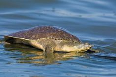 Spiny Softshell Turtle Images