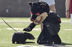 This provides context as to how large a real bearcat is in relation to a person.  Keep in mind that mascot outfits are larger than the average person, so this particular bearcat is fairly large. Image source: http://www.draftdaysuit.com/2010/12/05/cincinnati-bearcat-arrested-for-snowball-fight/