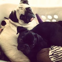 Cuddling pugs in the toy bin