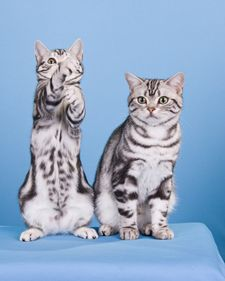 American shorthairs are among the most popular cat breeds registered with the Cat Fanciers' Association.