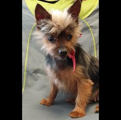 Gingersnap is an adoptable Yorkshire Terrier Yorkie searching for a forever family near Escondido, CA. Use Petfinder to find adoptable pets in your area.