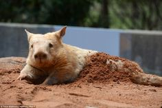 Polar, one of two three-year-old rare golden southern hairy nosed wombats on display at Cleland Wildlife Park, Adelaide
