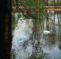 my photo, nature, pond, swan