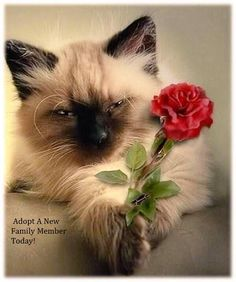 I brought you a flower! I love Siamese cats. I Love Cats, Crazy Cats, Cute Cats, Funny Cats, Pretty Cats, Beautiful Cats, Pretty Kitty, Kittens Cutest, Cats And Kittens