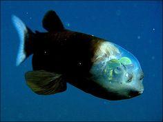 Peixe Duende