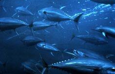 Facts and Information about Yellowfin Tuna. Yellowfin Tuna Description, Behavior, Feeding, Reproduction, Yellowfin Tuna threats and Yellowfin Tuna, Fishing Life, Ice Fishing, Ex Machina, Deep Sea Fishing, Beginning Of School, Middle School, Saltwater Fishing, Stem Activities