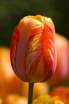 Photo of the day - orange and yellow tulip - http://www.photographybypixie.com/2014/10/04/photo-of-the-day-orange-and-yellow-tulip-2/ #photography #photooftheday