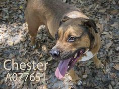 CHESTER - URGENT - located at Manatee County Animal Services in Palmetto, Florida - ADOPT OR FOSTER - Neutered Male Hound Mix - at shelter since April 1, 2016 - a volunteer favorite. He will sit on request and he has great self control - he will his sit for several seconds before taking the treat gently. He walks politely on a leash and enjoys playing with other dogs. Chester will make a wonderful addition to just about any home.