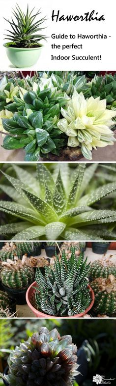 Exceptional Indoor Succulent Guide to growing Haworthia - the perfect indoor succulent plants! :)Guide to growing Haworthia - the perfect indoor succulent plants! Propagating Succulents, Growing Succulents, Succulents In Containers, Cacti And Succulents, Growing Plants, Planting Succulents, Planting Flowers, Succulent Landscaping, Succulent Gardening