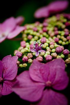 """The loud pink of bursting hydrangeas."" from The Captured Goddess by Amy Lowell"