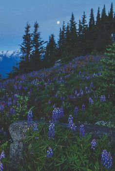 Lupin meadow