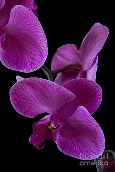~~ Pink Orchid Iv Photograph ~~