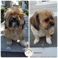 Lily  🐥 🐞 Ratty to Regal - Professional Dog Grooming Service in Bicton with Lots of Love, Care, Patience and Treats:) Mob.: 04 02 761153 Ula Facebook: https://www.facebook.com/rattytoregal/  Website: https://rattytoregal.wixsite.com/rattytoregal