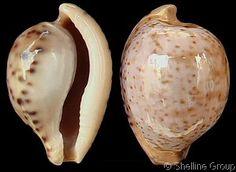 Cypraeovula algoensis permarginata sanfrancisca (f)  Chiapponi, M., 1999    Shell size  20 mm  S Africa