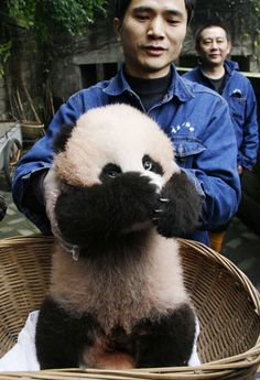 This baby panda born at Chongqing zoo in southwest China has turned 100 days old. The unnamed youngster was born to 11-year-old Ya Ya. Now that the little panda has reached its 100-day milestone he will be given a name.