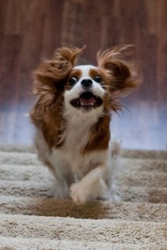 Crazy Luna the Cavalier King Charles Spaniel King Charles Puppy, King Charles Spaniel, Cavalier King Charles, Cavalier King Spaniel, Cocker Spaniel, Cute Dog Photos, Cute Animal Pictures, Puppies And Kitties, Doggies