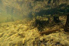 Bermpje in de beek ( Neomachilus barbatulus ) Biotope Aquarium, Carp, Otters, Trees To Plant, Underwater, Swimming, Glass, Life, Painting