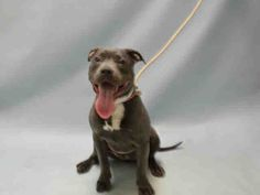SAFE 2-6-2016 --- Brooklyn Center EMMY – A1064213  FEMALE, GRAY / WHITE, AM PIT BULL TER MIX, 8 mos STRAY – STRAY WAIT, NO HOLD Reason STRAY Intake condition EXAM REQ Intake Date 02/02/2016