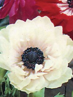 Google Image Result for http://www.vogelvry.com.au/images/anemone-st-brigid-pink-and-white.jpg